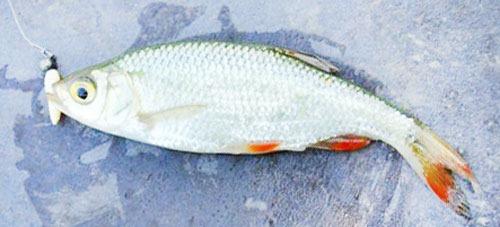 Ловля мирной рыбы на наноджиг