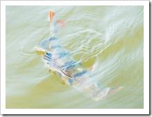Ловля окуней на отводной поводок