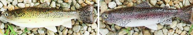 Это не живая форель, а силиконовые рыбки