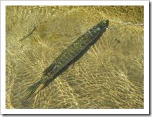 Хранение улова на кукане. Садок для рыбы