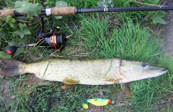 Щука, пойманная в речной яме на джиг