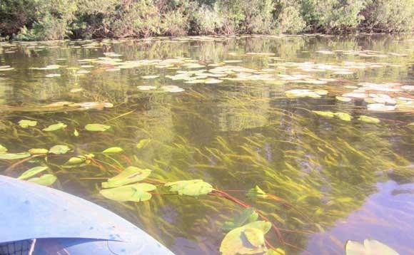 Густая водная растительность