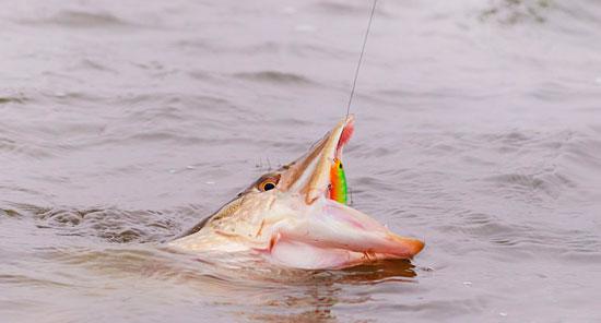 Подсеченная рыба